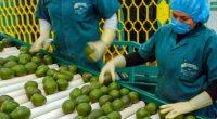 """La Secretaría de Agricultura, Ganadería, Desarrollo Rural, Pesca y Alimentación (SAGARPA) informó que la exportación de aguacate """"Hecho en México"""" aumentó durante el mes de enero 24.4 por ciento, en […]"""