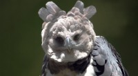 Aguila arpía Harpia harpyja Orden: Falconiformes Familia: Accipitridae Es un águila enorme, de 85 a 107 centímetros de longitud total. Tiene en la cabeza un copete de dos puntas, formado […]