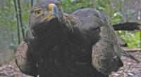 Se tiene estimación de 70 a 90 parejas de Águilas Reales que vuelan en libertad en los cielos de México, esta ave, símbolo de la Bandera nacional, es uno de […]