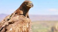 Este 13 de febrero, la Comisión Nacional de Áreas Naturales Protegidas (CONANP) en el marco del Día Nacional del Águila Real (Aquila chrysaetos) anuncia un incremento en el número de […]