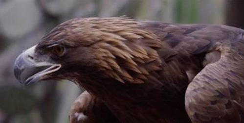 La Comisión Nacional de Áreas Naturales Protegidas (CONANP) detectó un nuevo territorio de anidación de águila real ubicado en la parte norte de la Sierra de Álvarez, en el Municipio […]