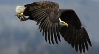 Aguila de cabeza blanca Haliaeetus leucocephalus Orden: Falconiformes Familia: Accipitridae Es un ave de presa que llega a medir de 75 a 100 centímetros de longitud total. Las aves en […]