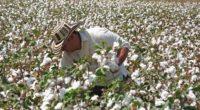 El algodón es uno de los cultivos que más valor aportan a la producción agrícola de México, debido a que es rentable, su precio cotiza en la bolsa, y con […]