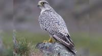 Halcón gerifalte Falco rusticolus Orden: Falconiformes Familia: Falconidae Estos halcones alcanzan entre 50 y 64 centímetros de longitud total. Son de tamaño mayor que un halcón peregrino y no tienen […]
