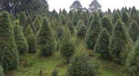 Se llevó a cabo el corte oficial del primer árbol de Navidad, por parte de diversas autoridades quienes coincidieron en la necesidad de fomentar el consumo interno de los árboles […]