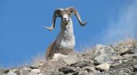 Borrego argali Ovis ammon Orden: Artiodactyla Familia: Boviade Es el más grade de los borregos silvestres. Puede medir hasta 120 centímetros a la altura de los hombros y llega a […]