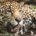 Durante el Simposio Internacional de Ecología y Conservación del Jaguar y otros Felinos Neotropicales realizado en Cancún, en el estado de Quintana Roo, especialistas de conservación de la especie de […]