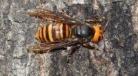 Recientemente se han multiplicado las noticias sobre el avispón asiático gigante, como su nombre lo indica, esta especie es nativa del este y sureste de Asia. El año pasado se […]