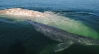 """Durante el censo anual que realizan especialistas de la Comisión Nacional de Áreas Naturales Protegidas (CONANP), fue posible evidenciar la presencia de la hembra de ballena gris denominada """"Galón de […]"""