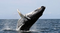 Ballena Azul Balaenoptera musculus Orden: Cetacea Familia: Balaenopteridae La Ballena azul es el animal más grande del mundo, pertenece al tipo de ballenas barbadas, son ballenas muy grandes que pueden […]