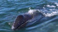 La Comisión Nacional de Áreas Naturales Protegidas (CONANP) realizó el primer conteo de ballena gris de la temporada 2018. Hasta el momento, se ha registrado la presencia de 213 ejemplares […]