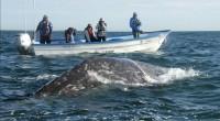 La Alianza WWF-Telcel informó que durante la presente temporada (diciembre-abril) aumentó el avistamiento de ballenas grises en las lagunas costeras de Baja California Sur. El incremento es de alrededor del […]