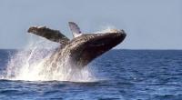 Mexicana por nacimiento y conocida popularmente como ballena gris, recorre 12 mil kilómetros, desde Alaska y Mar de Bering a las lagunas costeras de San Ignacio y Ojo de Liebre-Guerrero […]