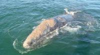 La Comisión Nacional de Áreas Naturales Protegidas (CONANP), anunció el comienzo de la temporada de avistamiento de ballena gris 2016-2017 en las lagunas costeras de Ojo de Liebre y San […]