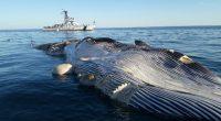La Procuraduría Federal de Protección al Ambiente (PROFEPA) y la Secretaria de Marina (SEMAR) atendieron el varamiento de un ejemplar de Ballena Rorcual Tropical localizado muerto dentro del Área de […]