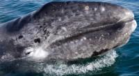 Desde mediados de diciembre hasta la mitad de abril cientos de ballenas arriban a Baja California Sur, aguas en donde se pueden apreciar a infinidad de estos mamíferos que llegan […]