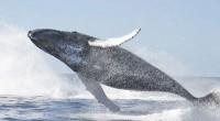 Laguna San Ignacio, BCS.- Investigaciones realizadas en Laguna San Ignacio, ubicada en la costa occidental de la Península de Baja California, muestran un incremento en la población de ballena gris […]