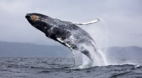 Ballena azul Balaenoptera musculus Orden: Cetacea Familia Balaenopteridae La ballena azul pertenece al tipo de ballenas barbadas, son ballenas muy grandes que pueden medir hasta 29.4 metros de longitud y […]