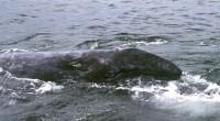 Se dio a conocer que en la Reserva de la Biosfera El Vizcaíno, el Área Natural Protegida más grande del país, ha recibido hasta el momento, 437 ejemplares de ballena […]