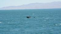 La Procuraduría Federal de Protección al Ambiente (Profepa) y la Secretaría de Marina (SEMAR) lograron el rescate de seis ballenas Pilotos (Globicephala macrorhynchus), tras registrarse la tarde-noche de ayer domingo […]