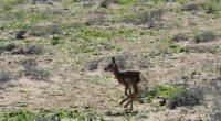 Gracias al Programa de Acción para la Conservación de Especies (PACE) del berrendo peninsular, implementado desde el 2009, actualmente hay 500 ejemplares por lo que se puede afirmar que el […]