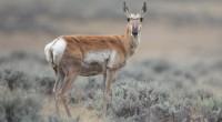 Berrendo Antilocapra americana Orden: Artiodactyla Familia: Antilocapridae El Berrendo es un ciervo de tamaño mediano. La longitud cabeza-cuerpo es de 1 a 1,4 m, y pesa 35 a 70 kg. […]