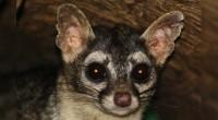 Cacomiztle tropical Bassariscus sumichrasti Orden: Carnívora Familia: Procyonidae El cacomixtle tropical es del tamaño de un gato casero mediano, con cuerpo esbelto con piernas cortas y cola muy larga, peluda […]