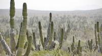 El Santuario de los Cactus se ubica en el ejido El Rosario, a media hora de La Paz, Baja California Sur. Es un Area Natural Protegida (ANP) que cuenta con […]