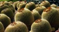 Se estima que poco más de 30 por ciento de las especies de cactus en el mundo están amenazadas y están catalogadas como en peligro de extinción y casi la […]