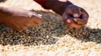 """De acuerdo con la Asociación Nacional de la Industria del Café A.C. (ANICAFÉ), """"la producción del café en México ha venido a la baja y se considera que ya tocó […]"""