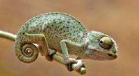 Esta especie es una familia de pequeños reptiles escamosos que varían gradualmente de tamaño los cuales tienen desde 10 cm de largo hasta los grandes de 80 cm. Muchos de […]