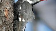 Los pícidos (Picidae) son una gran familia de aves del orden de los Piciformes, que incluye 218 especies conocidas popularmente como pájaros carpinteros, carpinteritos, pitos, picapinos y torcecuellos. Tienen una […]