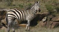 Cebra de grévy Equus grevry Orden: Perissodactyla Familia: Equidae La Cebra de Grevy es la mayor de las tres especies de cebras, con un peso corporal de hasta 450 kg. […]