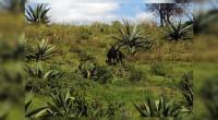 Apaxco.- Integrantes de Ecopil, A.C. trabajan en la reforestación con especies autóctonas y recuperación del Cerro de la Mesa Ahumada, para convertirlo en una zona natural comunitaria protegida. «Estamos luchando […]