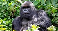Gorila de Montaña Gorilla beringei beringei Orden: Primates Familia: Hominidae El gorila de montaña tiene el pelo más largo que el resto de los gorilas, lo que le permite vivir […]