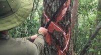 Se dio el banderazo de inicio de la temporada de aprovechamiento del látex que se extrae del árbol chicozapote (Manilkara zapote), uno de los más abundantes en el estado de […]