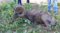La Procuraduría Federal de Protección al Ambiente (PROFEPA) rescató con vida un ejemplar de Borrego Cimarrón (Ovis canadensis) macho adulto, que deambulaba en calles de la Colonia Chametla de la […]