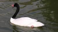 Cisne de cuello negro Cygnus melanocorypha Orden: Anseriformes Familia: Anatidae El cisne de cuello negro es una especie propia de Sudamérica, inconfundible por su cabeza y cuello negros y su […]