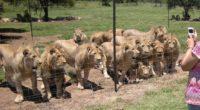 World Animal Protection informó que se está cometiendo grandes crímenes contra los grandes felinos, una investigación que realizaron en varios países, demuestra que la cadena de suministro que alimenta la […]