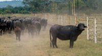 En México se está desarrollando un novedoso segmento pecuario dedicado a la crianza de búfalos de agua, que será incorporado como Sistema Producto en la Secretaría de Agricultura, Ganadería, Desarrollo […]
