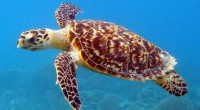 En México, existen dos proyectos que amenazan la existencia de especies vulnerables de tortuga marina, informó la Asociación Interamericana para la Defensa del Ambiente (AIDA), y por ello pidió a […]