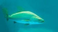 Unos 30 peces que nadan con agilidad en círculos dentro de un estanque conforman el pequeño cardumen, tal como lo hacen cuando se encuentran en su ambiente silvestre en el […]