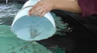 Un equipo de científicos del Centro Interdisciplinario de Ciencias del Mar (Cicimar) del Instituto Politécnico Nacional (IPN) está desarrollando tecnologías aplicadas al cultivo del pez llamado huachinango del Pacífico, generando […]