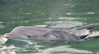 """Grupo Dolphin Discovery anunció el nacimiento de la cría número 100 de delfín, lo anterior es resultado del programa de reproducción de mamíferos marinos""""Miracle"""", que opera desde el año 2002. […]"""