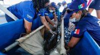 El Dr. Roberto Sánchez Okrucky, Director de Medicina Veterinaria y Edgar Urbina, Director de Especialistas en Mamíferos Marinos de Dolphin Discovery, acompañados por Juan Luis Carrillo Soberanis, Presidente Municipal de […]