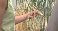 """Para analizar la postura científica en torno a los alimentos transgénicos, se lanzó el documental """"Food Evolution"""", que se presentó recientemente en la Ciudad de México. En la cinta que […]"""