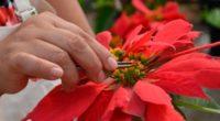 Considerada el símbolo floral de la Navidad, la flor de Nochebuena y que en algunos países signo de amistad, es una planta de origen mexicano cuya historia, domesticación y diversidad […]