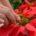 Con la finalidad de beneficiar a los más de 600 floricultores que lograron producir tres millones y medio de Flor de Nochebuena en Xochimilco, autoridades de la alcaldía, de las […]