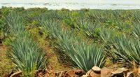 """Existen muchas regiones del país dedicadas a cultivar agave, en este caso, el cultivo del Agave tequilana Weber variedad azul. Sin embargo, aquellos cultivados fuera de la zona de """"denominación […]"""