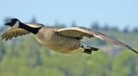 Ganso canadiense Branta canadensis Orden: Anseriformes Familia: Anatidae El ganso del Canadá es una de las aves más conocidas de América del Norte. Se encuentra en cada uno de los […]